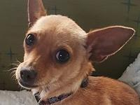 Lois's story * Female Chihuahua mix * Approximately