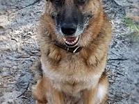 Lois's story Lois is a beautiful female shepherd. She
