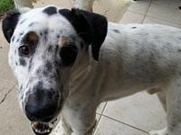 Loki's story Loki is a 4-year-old male English Setter /