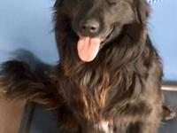 Loki is a Newfoundland mix.  A big, friendly guy, he is