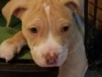 Loki is a 10 week old pit mix who was rescued with his