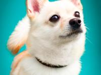 Loki is a spunky spitz mix that is rescue only due to