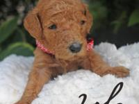 Lola is a red female conventional poodle which was born