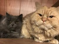 These two young Persians are Lola (gray) and Garfield