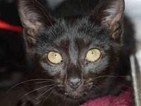LOLA's story Lola is a pretty, black female kitten. She