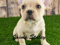 Meet Lola! She is a very cute Female French Bulldog