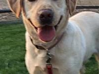 Lola's story This is Lola, i am a 6 year yellow lab. I