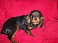 """Charlie"" is an AKC black and tan boy. All shots, vet"