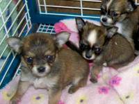 CKC reg Adorable black/tan Long coat female $500, 2