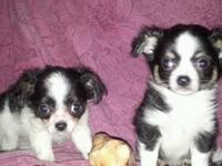 Two Long Coat male Chihuahua puppies looking for good