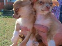 We have 2 long coat chihuahua puppies left out of a