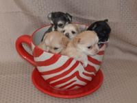 Long Coat Applehead Chihuahuas, CKC registered. The