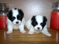 Glimpse a chi babies (Pekingese x long coated Chihuahua