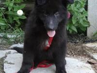 AKC registered Female black Longhair German Shepherd.