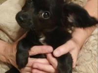 Female Chi Weenie. Mother is a 4 pound Chihuahua and