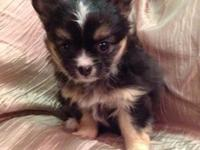 Long/Short Hair Mix. We have 2 Chihuahua Puppies for