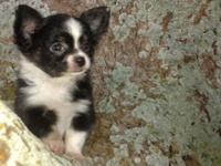 Beautiful Long Hair Male Chihuahua. Ready June 2nd. Up