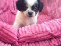Long hair chihuahua 10 weeks old he's a lil fat boy