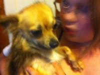 17 month old male long hair chihuahua trying to find a