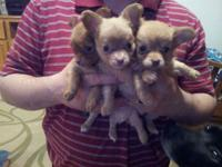 I have three pure breed long hair Chihuahua puppies