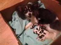 Beautifull female chihuahua young puppy, Born oct 9,