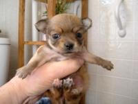 AKC 2 Males & & 1 Female Long Hair Chihuahuas. 4 weeks