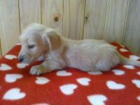Beautiful true cream mini dachshund female puppy