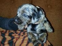 Gorgeous, long haired Dachshund puppies for sale! These
