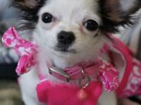 Im rehoming a small teacup chihuahua for description of