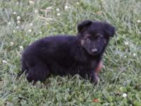 1dark sable male 1 dark sable female 1 black and tan