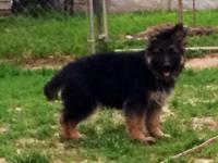 Gorgeous long hair german shepherd puppy. He comes with