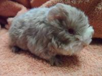 GUINEA PIGS... Long hair.. short hair.. we have them