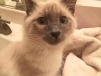 We have a long hair lilac point Siamese kitten 3 1/2