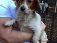 Ziggy is a fawn and white long hair male dachshund. He