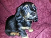 I have left one adorable black and tan female mini