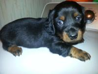 Miniature Dachshund Puppies (weenier dogs) Ready For