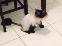 Rehoming a female declawed spayed Himalayan she's been