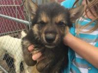 6 week old akc German shepherd pups. Very cute and