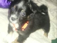 have a long haired male young puppy readily available