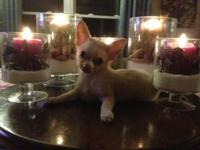 BEAUTIFUL LONG HAIRED CHIHUAHUA MALE. 3 SHOTS, 6