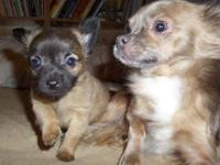2 Males and 1 Female Pure Long Haired Chihuahua pups.