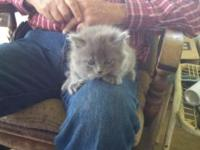 Long Haired Domestic Blue Persian Male Kitten Pet only