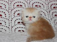 Orange and white EXOTIC long hair kitten is available
