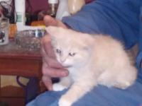 Long Haired Female Domestic Persian Not flat faced Two