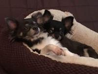 Long coat female Chihuahua puppy.11 weeks old,2