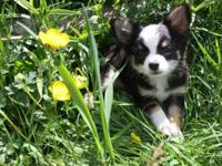 Female, LONG COAT TRI Female Chi young puppy, really