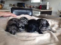 We have a gorgeous litter of Longcoat chihuahua/poodle