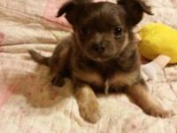 We have 4 gorgeous long layered purebred Chihuahua