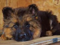 German Shepherd young puppies for sale from wellness