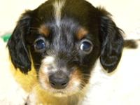 This little cutie is a longhair black & tan piebald